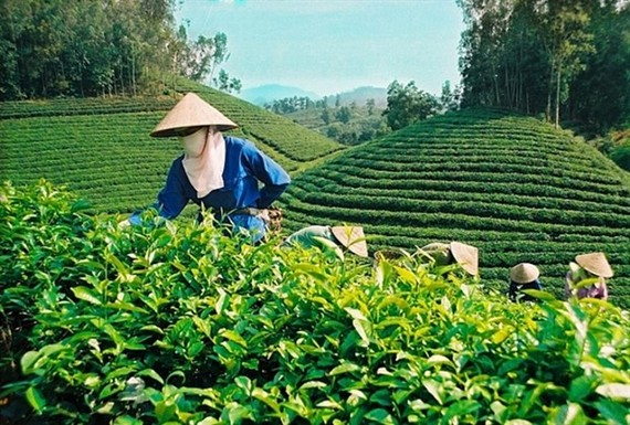 Vietnam's tea exports in the first quarter declines by 2.5 percent in volume to 26,000 tonnes. (Photo congthuong.vn)