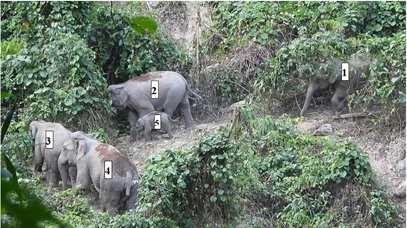 Asian elephants found living in a forest in Quang Nam province (Photo courtesy of USAID)