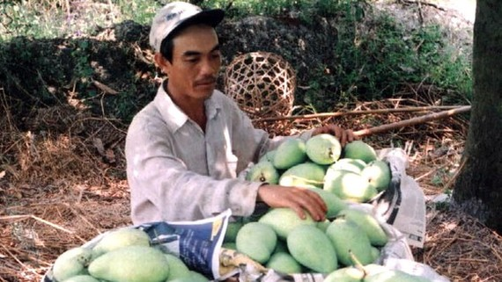 Mango farmers face difficulties in seeking market (Photo: SGGP)