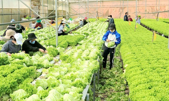 Purchasing power of Da Lat fruits and vegetables shows good signs after setback (Photo: SGGP)