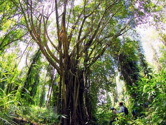 An ancient tree in U Minh Ha National Park in southern Vietnam. The IUCN has launched a Global Standard providing the first-ever set of benchmarks for nature-based solutions to global challenges. VNA/VNS Photo