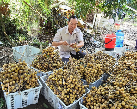 Batch of Vietnamese longan to be shipped to Australia