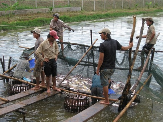 Tra fish farmers in Mekong Delta  suffer losses