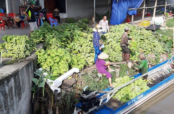 Prices of banana up in Mekong Delta