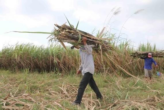 Farmers in Tra Cu district, Tra Vinh province, harvest sugar canes (Photo: VNA)