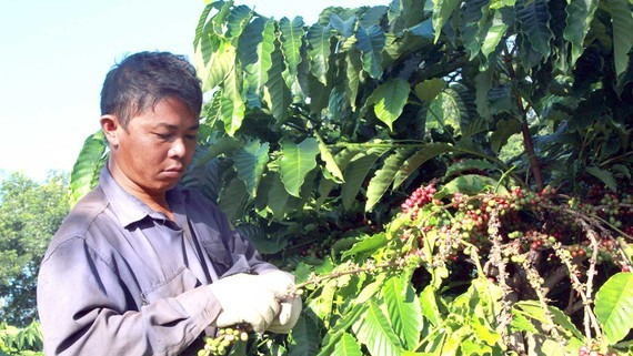 Vietnam was the top seller of unroasted beans to Japan for the first seven months of 2020 (Photo: SGGP)