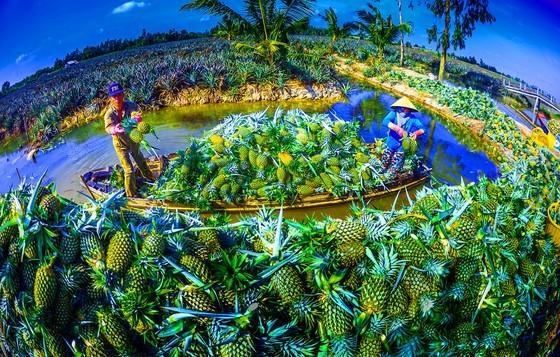 Famous Cau Duc pineapple of Hau Giang (Photo: SGGP)
