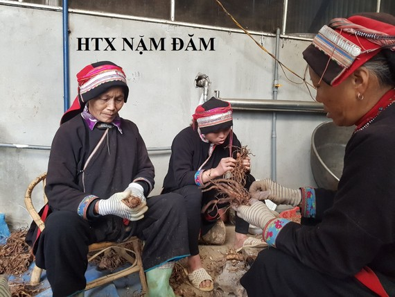 Members of the Nam Dam Cooperative are cleaning herbs (Photo: SGGP)