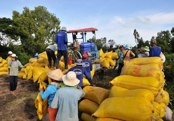 Farmers in Mekong Delta enjoy bumper harvest of rice, good price (Photo: SGGP)