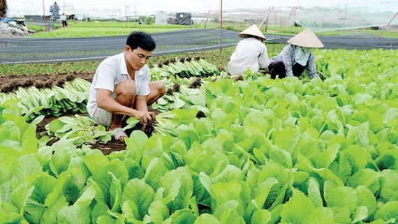 HCMC strives for 72 percent successful agricultural cooperatives (Photo: SGGP)