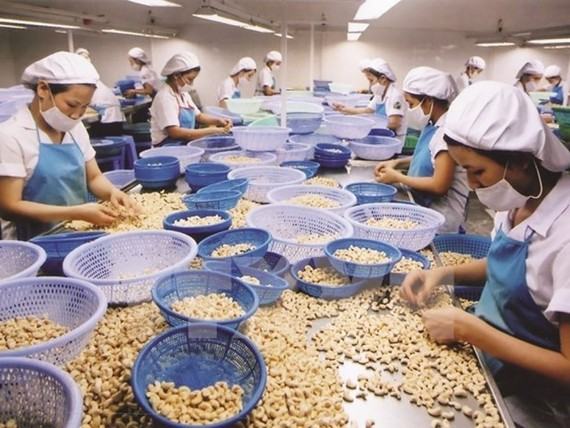 Processing cashew nuts for exports (Photo: VNA)