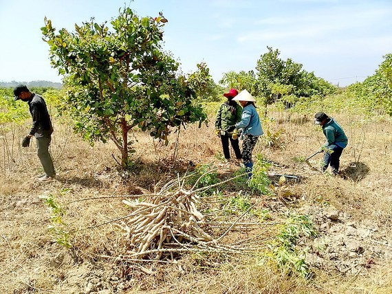 Farmers in the region have been busy harvesting cassava (Photo: SGGP)
