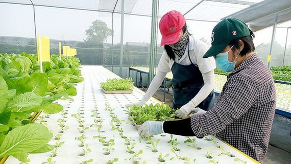 Local residents learn to produce organic agricultural products (Photo: SGGP)