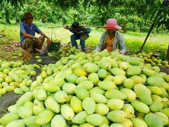Vietnamese mangoes will be exported to Chile