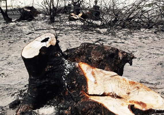 An ancient Casuarina tree is sawed