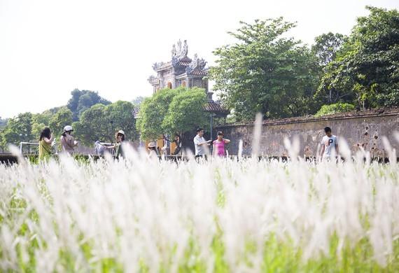 Cogon grasses blossom outside Forbidden Purple City in Hue Citadel