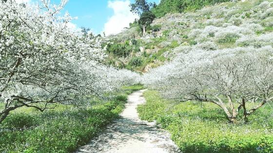 White plum flower in Moc Chau Plateau, Son La Province (Photo: SGGP)