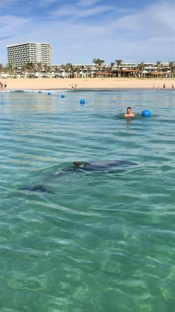A large dolphin has paid a rare visit to the shallow waters of Cam Ranh Bay in the south central coastal province of Khanh Hoa.