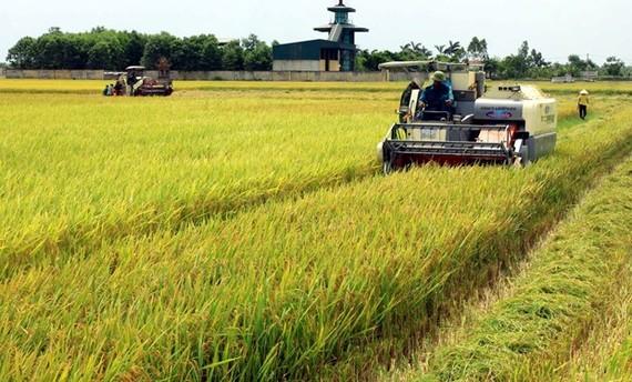 Harvesting the 2020 spring rice crop in Hoa Binh commune of Vu Thu district, Thai Binh province (Photo: VNA)