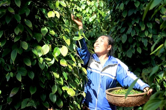 Harvesting pepper in Quang Tri Province. Vietnam's pepper exports in the first six months of this year reached 166,812 tons, earning $356 million. (Photo:VNA)