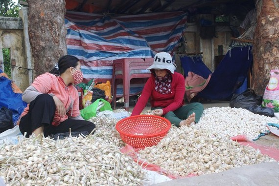 700 tons of dried garlic in Ly Son Island District have not been consumed to the market