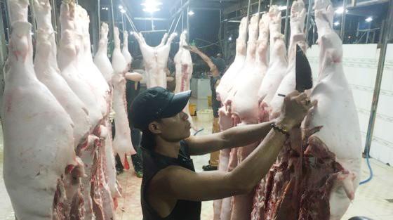 Thịt heo vẫn chưa đeo vòng nhận diện trước khi đưa vào giết mổ