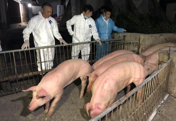 Hơn 300 heo giống Thái Lan đầu tiên nhập về Đồng Nai