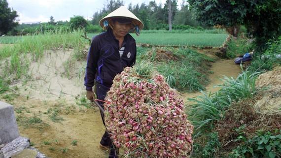 Nông dân xã Bình Hải được mùa hành tím