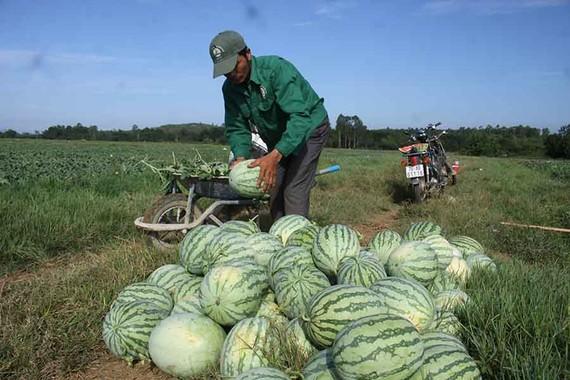Nông dân Quảng Ngãi trồng dưa sạch không hạt. Ảnh: NGUYỄN TRANG