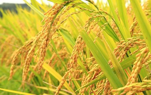 Bangladesh công nhận giống lúa biến đổi gien đầu tiên