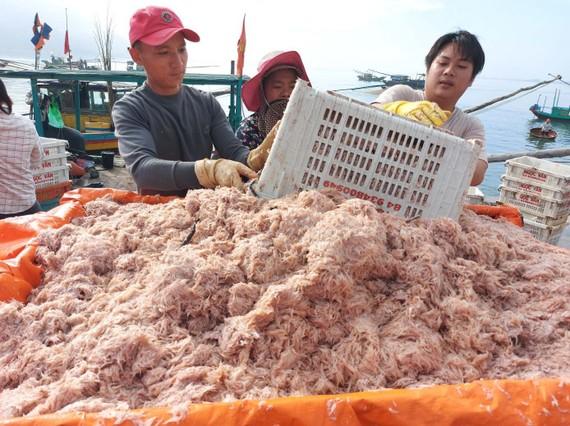Tép biển được tập kết tại cảng cá Cửa Sót  (xã Thạch Kim, huyện Lộc Hà)