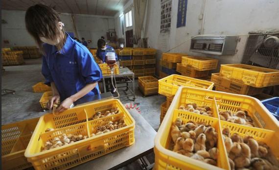 Công nhân tiêm vaccine cúm gia cầm H9 cho gà con tại một trang trại ở huyện Trường Phong, tỉnh An Huy, Trung Quốc, ngày 14-4-2013.Ảnh: REUTERS