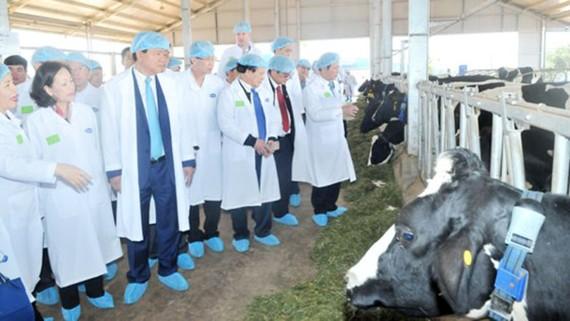 Bò sữa của Công ty CP Sữa Việt Nam được nuôi trong hệ thống chuồng trại hiện đại, đảm bảo vệ sinh