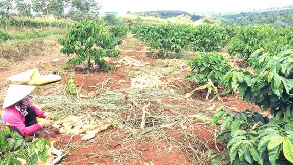 Cà phê trồng xen trong diện tích tái canh cao su