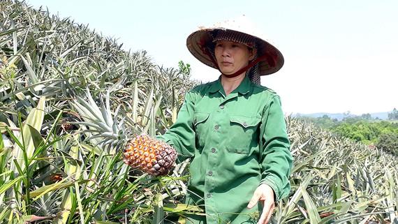 Nông dân buồn rầu vì giá thơm rớt thê thảm