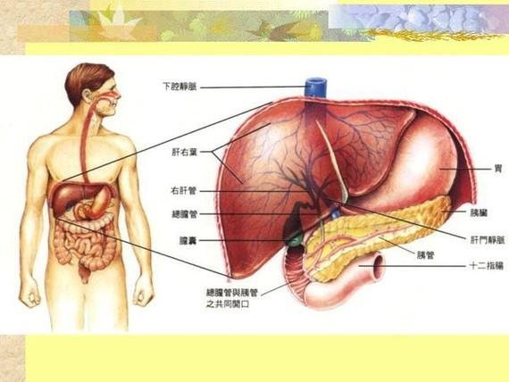 人體肝臟圖解。(示意圖源:互聯網)