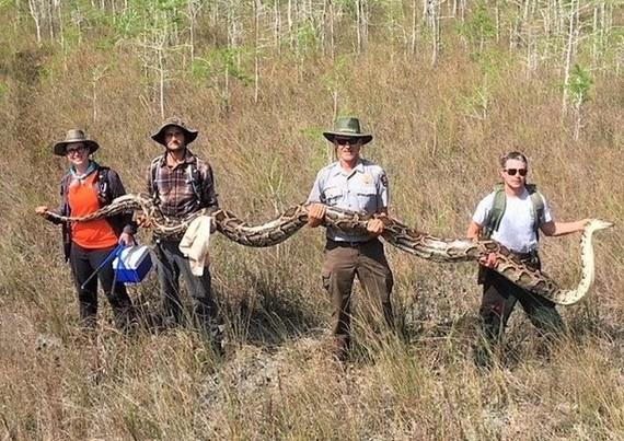 該蟒身形巨大,需四人合抬。(圖源:互聯網)