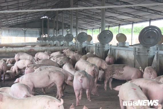 嚴防非洲豬瘟疫情蔓延。(示意圖源:VTC News)