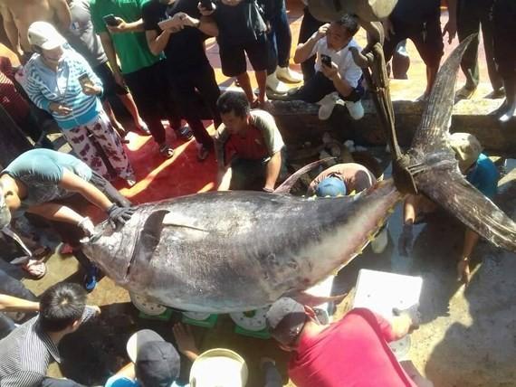重達386公斤的黃鰭金槍魚。(圖源:忠孝)