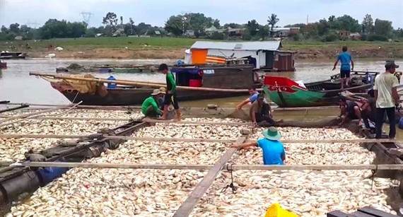 5月16日羅芽河上的網箱養魚戶遭受嚴重損失,圖為某一網箱的死魚屍浮滿水面。(圖源:芳兒)
