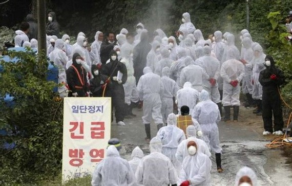 韓國的非洲豬瘟疫情正在蔓延。(圖源:AP)