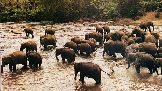泰國北柳府的一片森林裏,發生了一起80多頭野象狂奔事件,瞬間摧毀了林區附近的3個工棚,導致3人死亡。(圖源:互聯網)