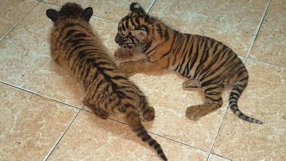 非法運送被查獲的兩隻珍稀老虎幼崽。(圖源:慶程)