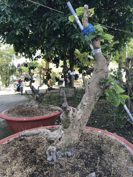 阿T的兩棵梅樹的樹枝被剪光,但小偷還 來不及拔走。