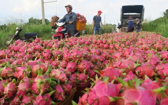 商販在平順省果園收購白心火龍果。(圖源:互聯網)