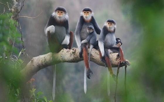 圖為當地灰足猿猴一家。(圖源:我愛山茶)