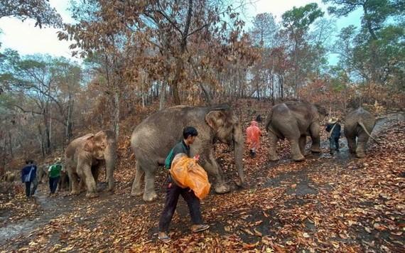 失業大象徒步送返家園,回歸大自然。(圖源:互聯網)
