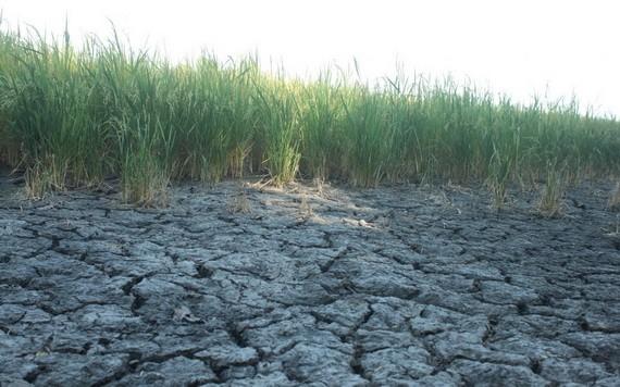 圖為茶榮省乾隆縣的一塊乾涸龜裂稻田。(圖源:互聯網)