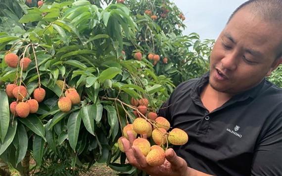 一名北江農夫在採摘早熟的荔枝。(圖源:黃潘)