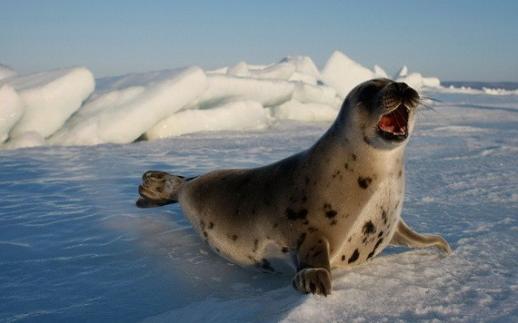 圖為北極圈內的豎琴海豹。(圖源:AFP)